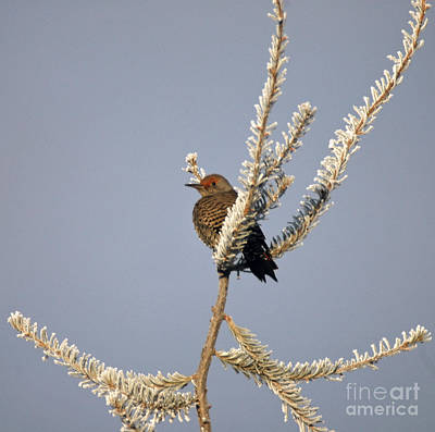 Photograph - 813a Northern Flicker by NightVisions