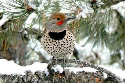 Photograph - Northern Flicker On A Snowy Ponderosa by Marilyn Burton