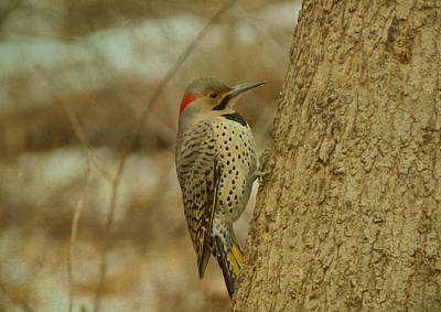 Photograph - Northern Flicker On Tree by Sandy Keeton