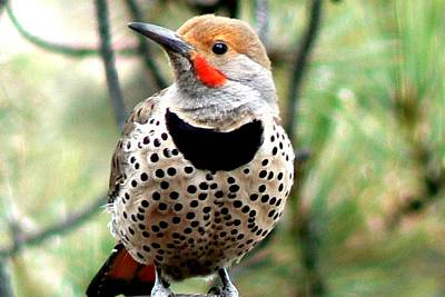 Photograph - Northern Flicker - Spotted Chest by Marilyn Burton