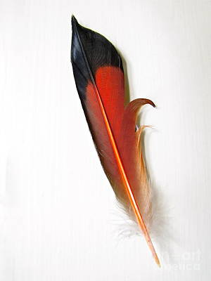 Antlers - Northern Flicker Tail Feather by Sean Griffin