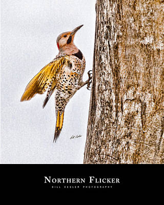 Photograph - Northern Flicker With Title by Bill Kesler