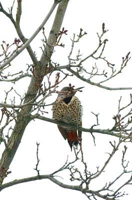 Photograph - Northern Flicker Woodpecker by Will Borden