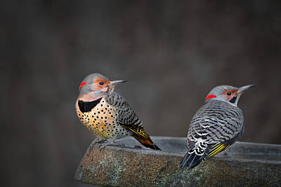 Of Birds Photograph - Northern Flickers by Bill Wakeley