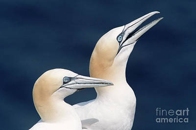 Photograph - Northern Gannets Newfoundland by Yva Momatiuk John Eastcott