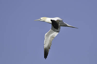 Photograph - Northern Gannet In Flight by Bradford Martin