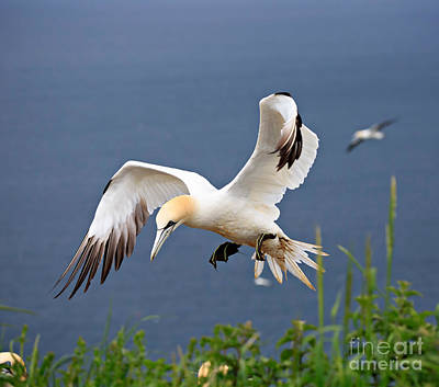 Animal Photograph - Northern Gannet In Flight by Louise Heusinkveld