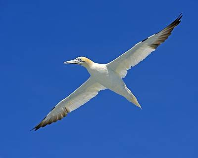 Photograph - Northern Gannet by Tony Beck