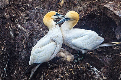 Photograph - Northern Gannets And Chick 2 by Perla Copernik