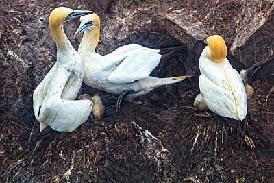 Photograph - Northern Gannets by Perla Copernik