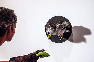 Northern Goshawk Flying Through A Tube Art Print