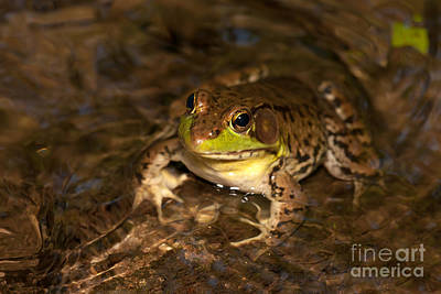 Photograph - Northern Green Frog by Clarence Holmes