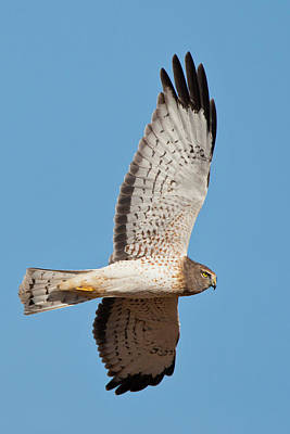 Harrier Photograph - Northern Harrier ( Circus Cyaneus by Larry Ditto
