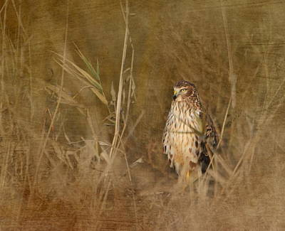 Golden Marsh Photograph - Northern Harrier At Rest by Angie Vogel