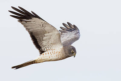 Harrier Photograph - Northern Harrier Hawk Hunting by Ken Archer