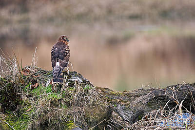 Photograph - Northern Harrier Hawk On Stump by Sharon Talson