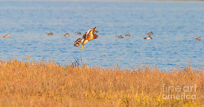 Photograph - Northern Harrier Hunting by Ram Vasudev