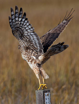 Photograph - Northern Harrier In Flight by Melinda Fawver