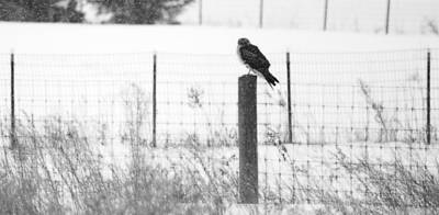 Western Snowfall Photograph - Northern Harrier by Tracy Winter