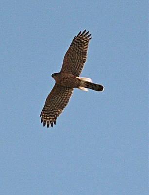 Photograph - Northern Harrier by Trent Mallett