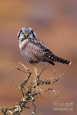 Photograph - Northern Hawk Owl by Bill Singleton