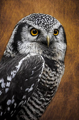 Photograph - Northern Hawk Owl D0517 by Wes and Dotty Weber