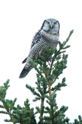 Photograph - Northern Hawk Owl by Frank Townsley