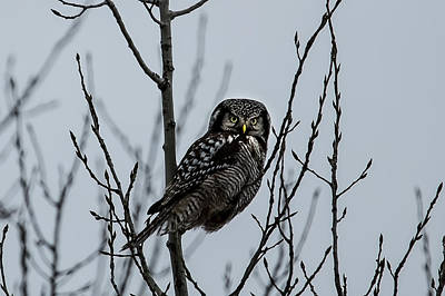 Nikki Vig Royalty-Free and Rights-Managed Images - Northern Hawk Owl in Winter by Nikki Vig