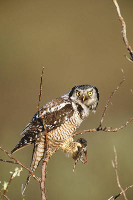 Northern Hawk Owl Art Print by Paul J. Fusco