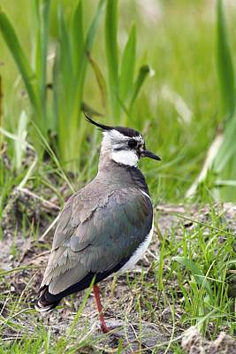 Lapwing Wall Art - Photograph - Northern Lapwing by David Woodfall Images/science Photo Library