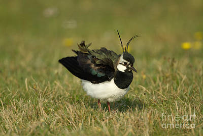 Lapwing Photograph - Northern Lapwing by Helmut Pieper