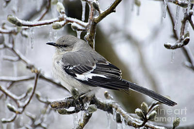 Photograph - Northern Mockingbird - D008813 by Daniel Dempster