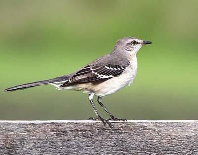 Photograph - Northern Mockingbird by Ira Runyan