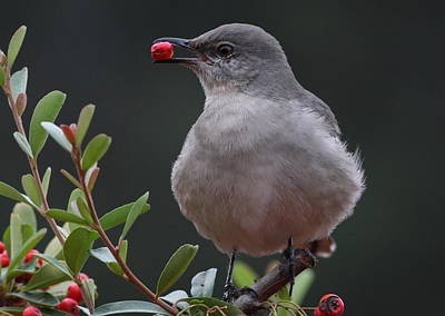 Photograph - Northern Mockingbird by Joe Sweeney