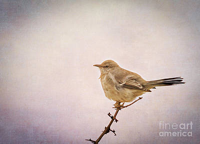 Photograph - Northern Mockingbird by Marianne Jensen