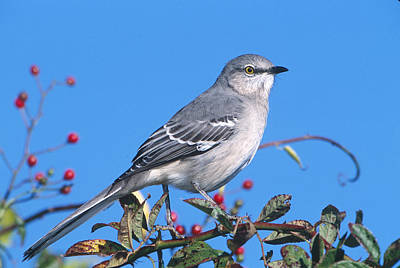 Mockingbird Photograph - Northern Mockingbird by Paul J. Fusco