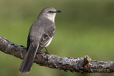 Photograph - Northern Mockingbird Photo by Meg Rousher