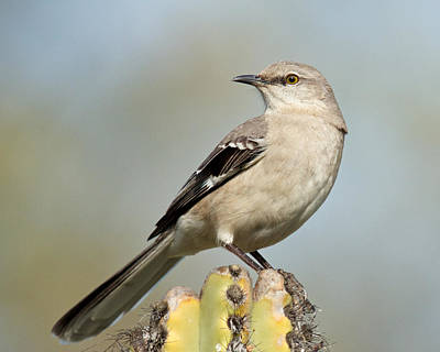 Photograph - Northern Mockingbird by Steve Kaye