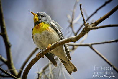 Photograph - Northern Parula by Barbara Bowen
