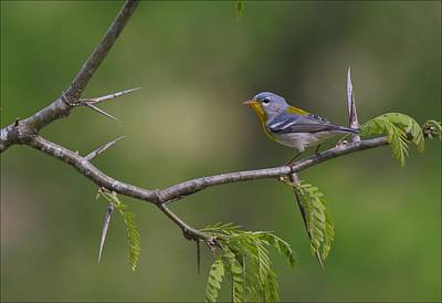 Northern Parula On Black Locust Art Print by Daniel Behm
