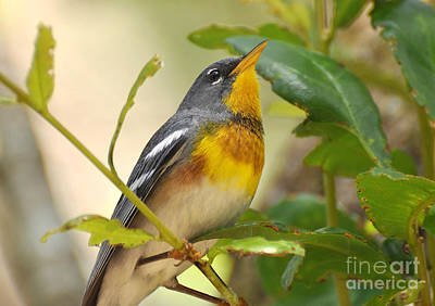 Photograph - Northern Parula Portrait by Kathy Baccari
