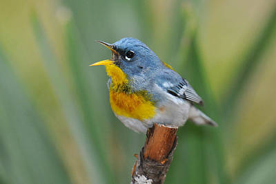 Photograph - Northern Parula Wabler Singing For Spring by Alan Lenk