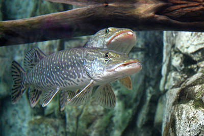 Photograph - Northern Pike by Shane Bechler