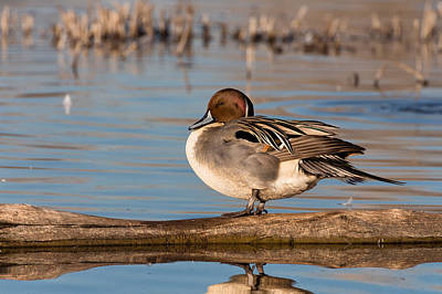 Photograph - Northern Pintail Duck At Colusa by Kathleen Bishop