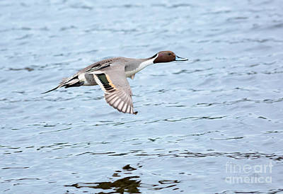 Esquimalt Photograph - Northern Pintail Duck In Flight by Louise Heusinkveld
