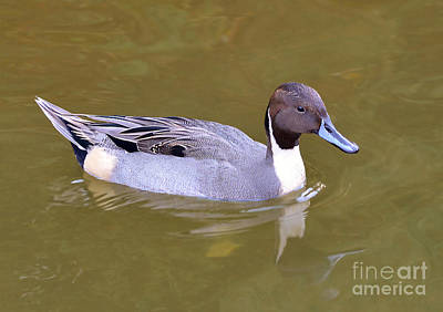 Photograph - Northern Pintail Duck by Kathy Baccari