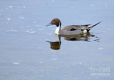 Esquimalt Photograph - Northern Pintail Duck by Louise Heusinkveld