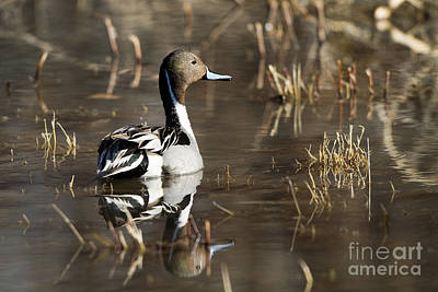 Handsome Northern Pintail Art Print by Martha Marks