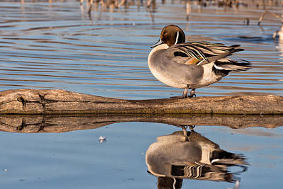 Photograph - Northern Pintail Duck Reflections by Kathleen Bishop