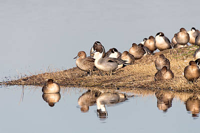 Photograph - Northern Pintail Ducks by Kathleen Bishop